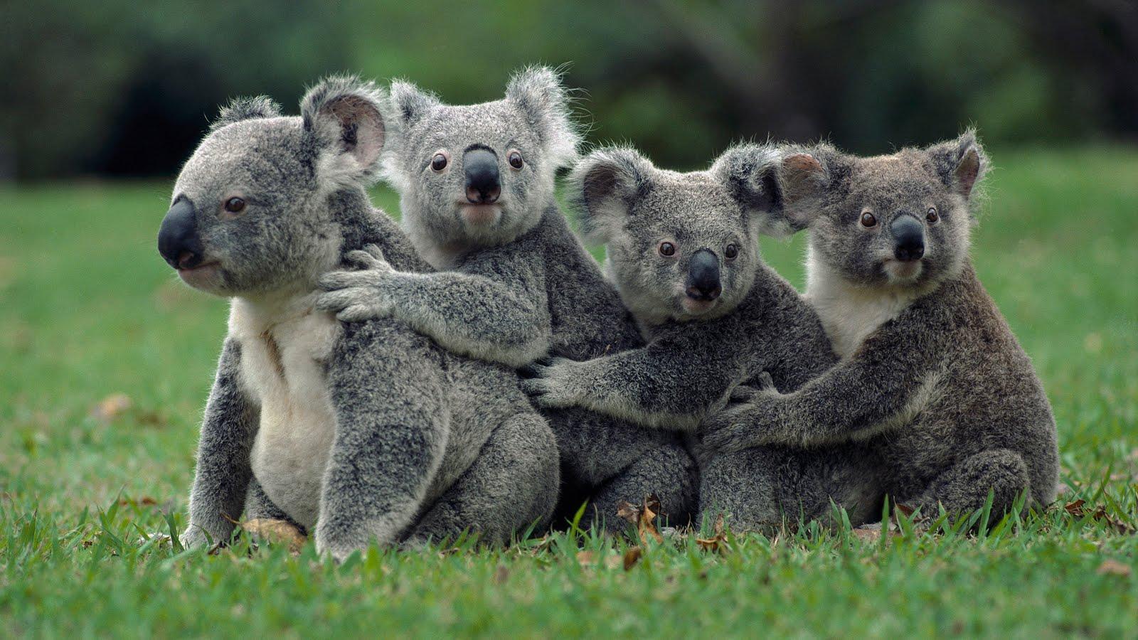 how do kangaroos have sex