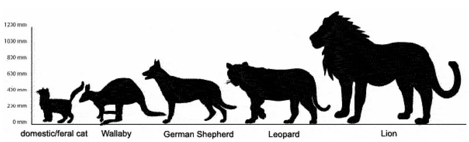 Big Cat Size Compared To Humans