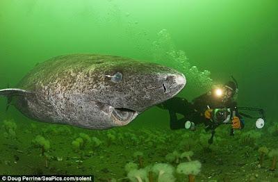 格陵蘭島 巨型深海鯊魚 壽命 200年:格陵蘭島附近出現巨型深海鯊魚 壽命長達200年