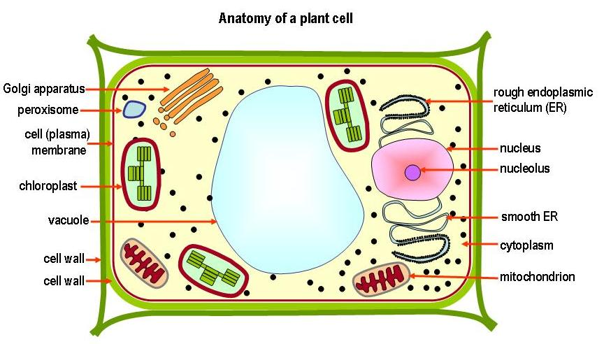 Labeled Plant Structure The Structure of a Plant Cell