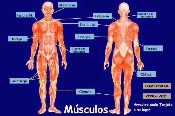 Cuerpo Humano Músculos | Pon Al Maximo Tus Musculos