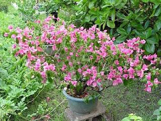 Jardineria, Catalogo de Plantas: Bougainvillea x buttiana