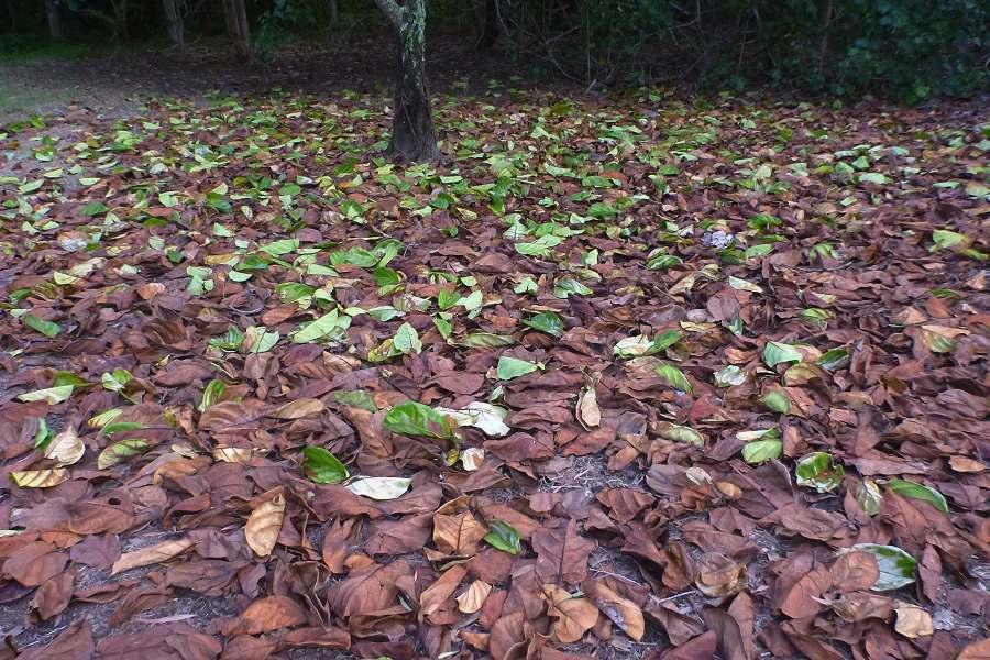 Fiddle leaf fig leaf litter after brief salt water incursion