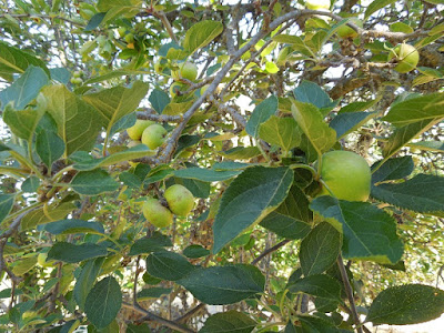 Our Apple Tree, Templeton, CA, July 25, 2015, © B. Radisavljevic