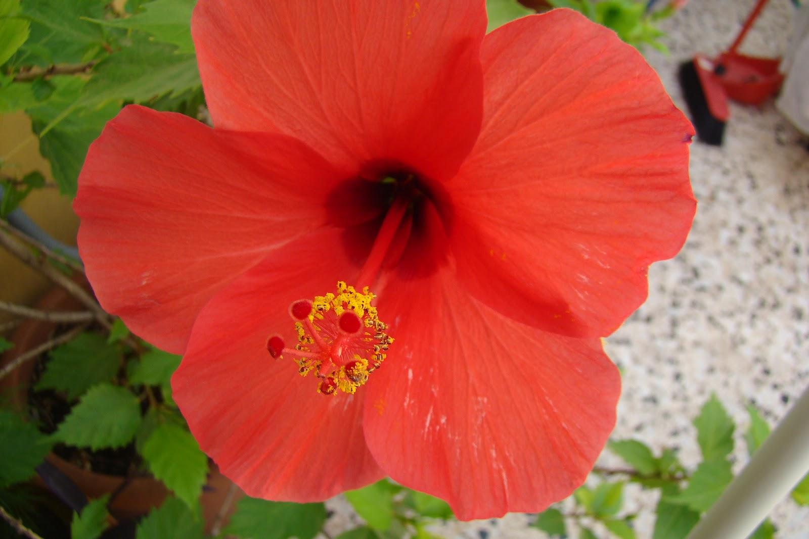 Flores pinturas y otras cosas guays rosa de china for Rosas chinas