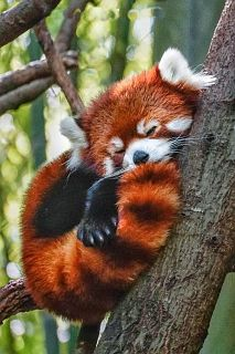 panda roșu
