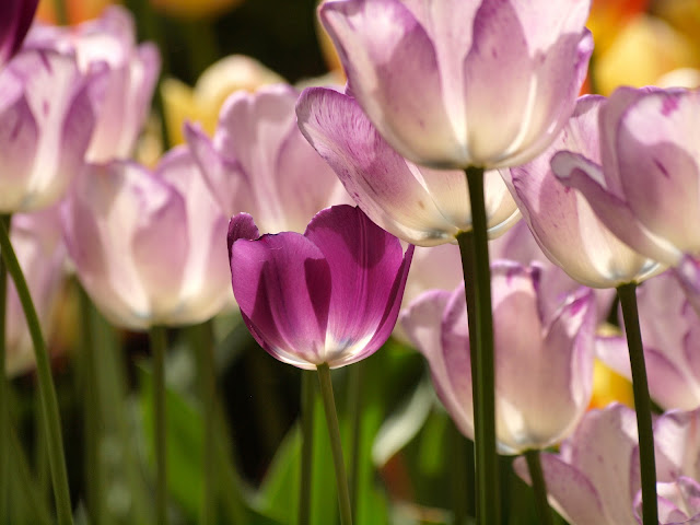 Tulips, Upper Westside Community Garden, NYC