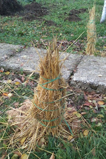 Straw protection for roses