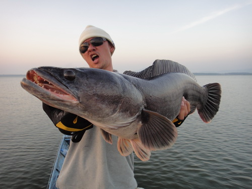 Giant Snakehead Fish Attack