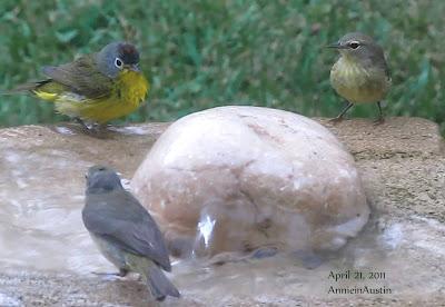 Annieinaustin 3 birds, one Nashville warbler