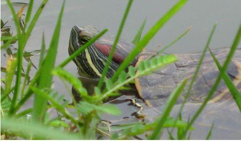 Mối hiểm họa từ rùa tai đỏ