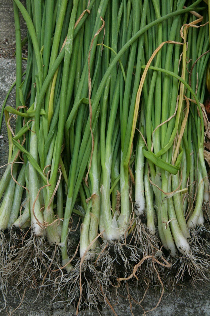 He Started With Some Boxes, 60 Days Later, The Neighbors Could Not Believe What He Built - Some good-looking green onions.