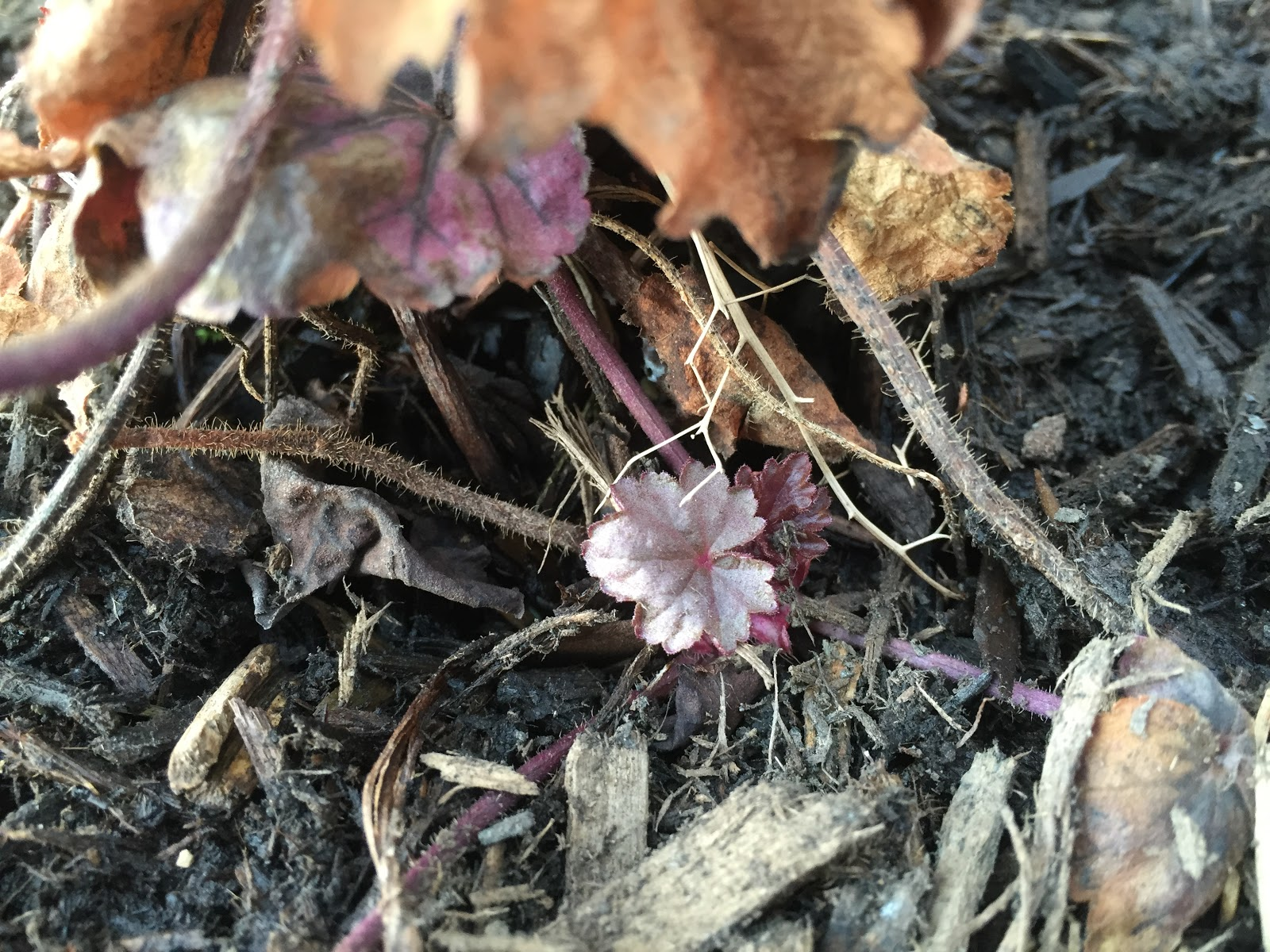 purple coral bells waking up