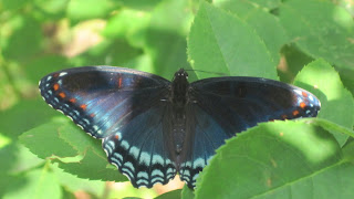 butterflies http;//www.simplesciencestrategies.com