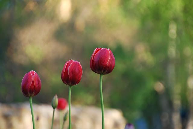 Тюльпаны в Парке Лысьвы