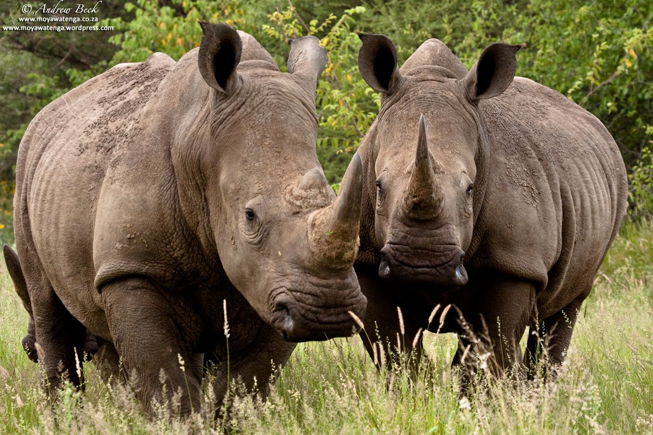 Love U Wallpapers Rhinoceros Backgrounds