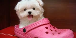 Bichon maltes en zapato