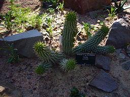 Ver Cómo adelgazar con la planta Hoodia Gordonii