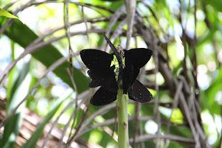 butterfly-ritidian-point-guam