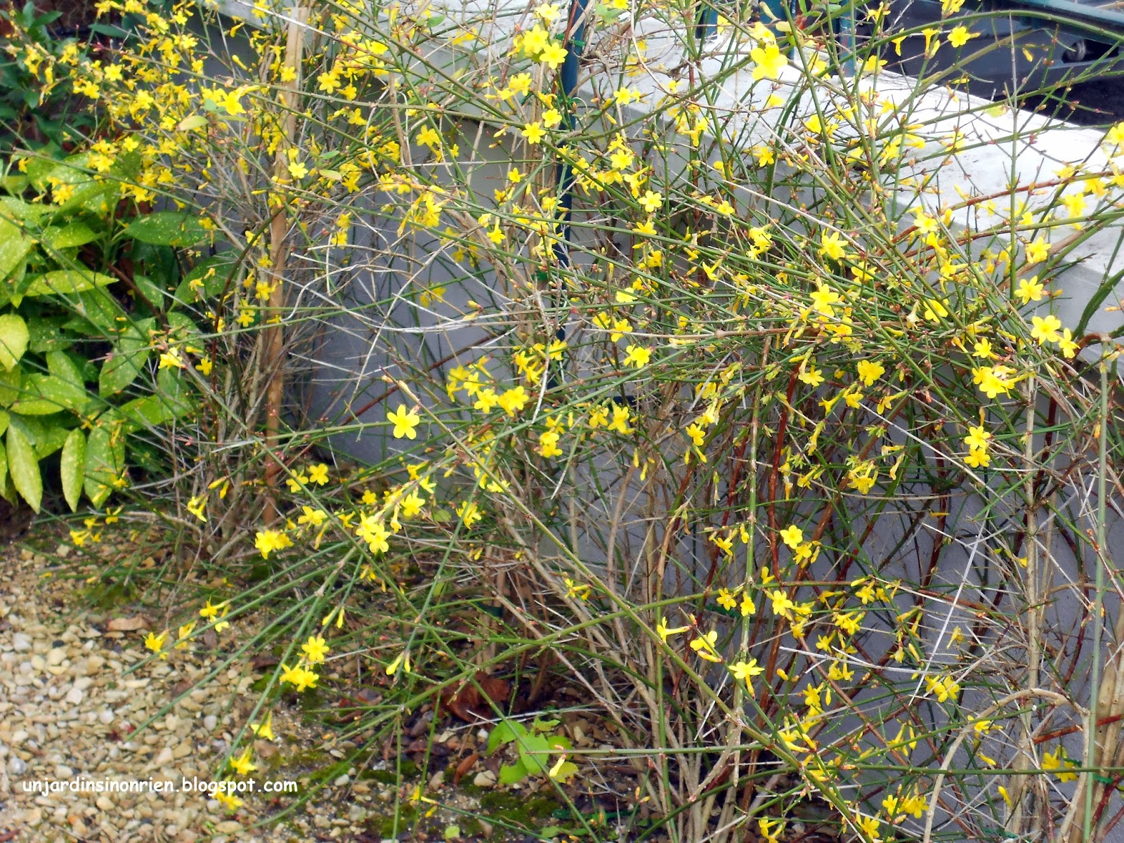 Un jardin sinon rien le jasmin d 39 hiver - Taille jasmin d hiver ...