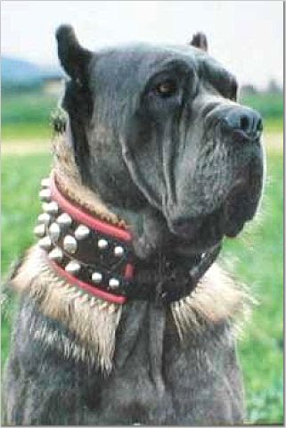 Neapolitan Mastiff with badger hair collar