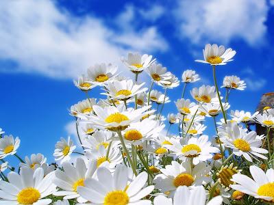flores_margaritas LA FOTO DE HOY: Mil Imágenes de Flores
