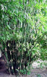 Bambousa Multiplex cv. or Silverstripe Bamboo