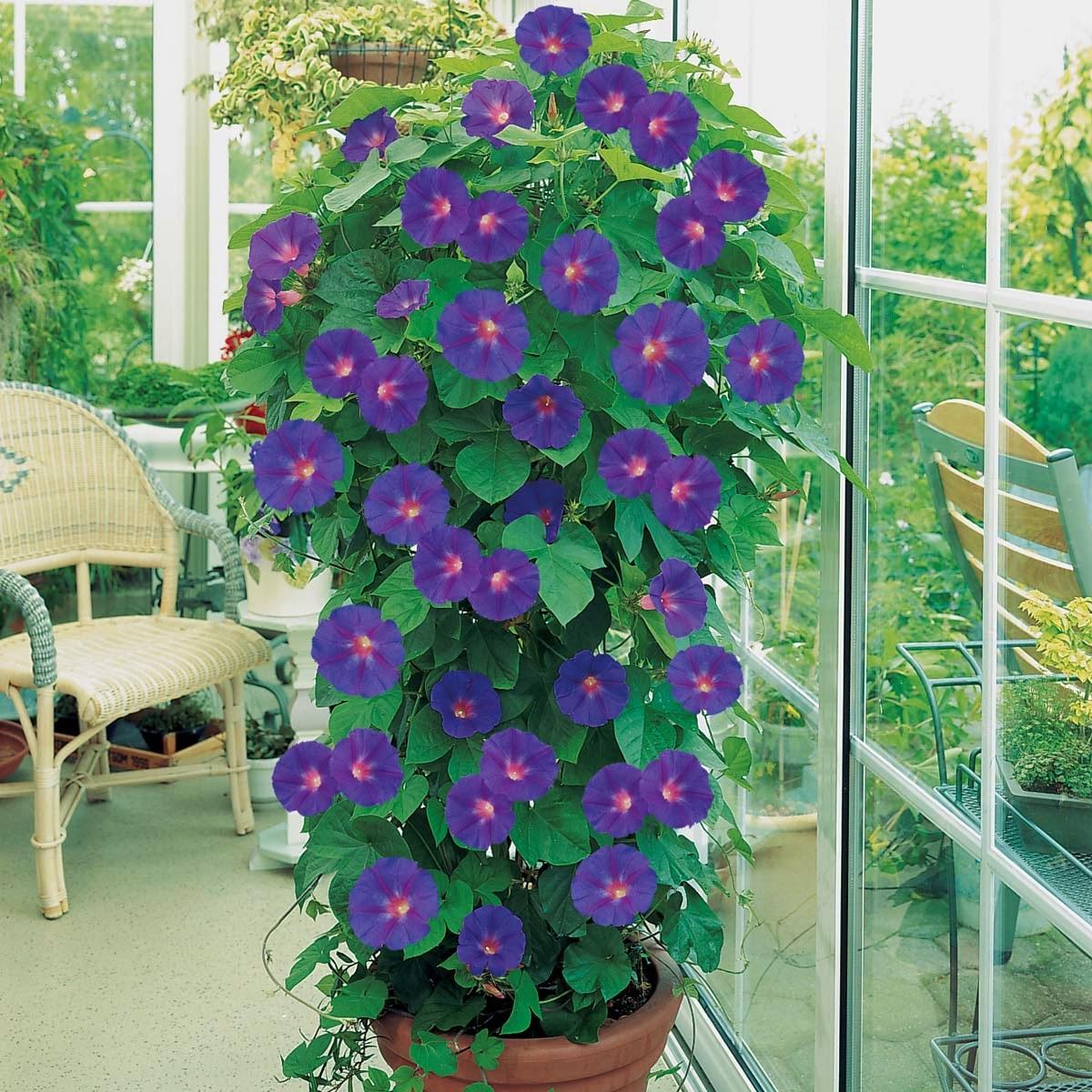 Glorious morning glories for Plante exterieur en pot