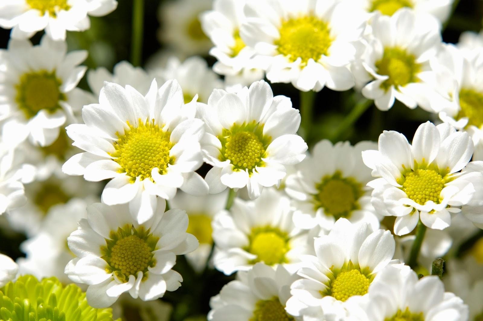 Jasmine flowers hd wallpapers download top hd wallpapers share this post izmirmasajfo