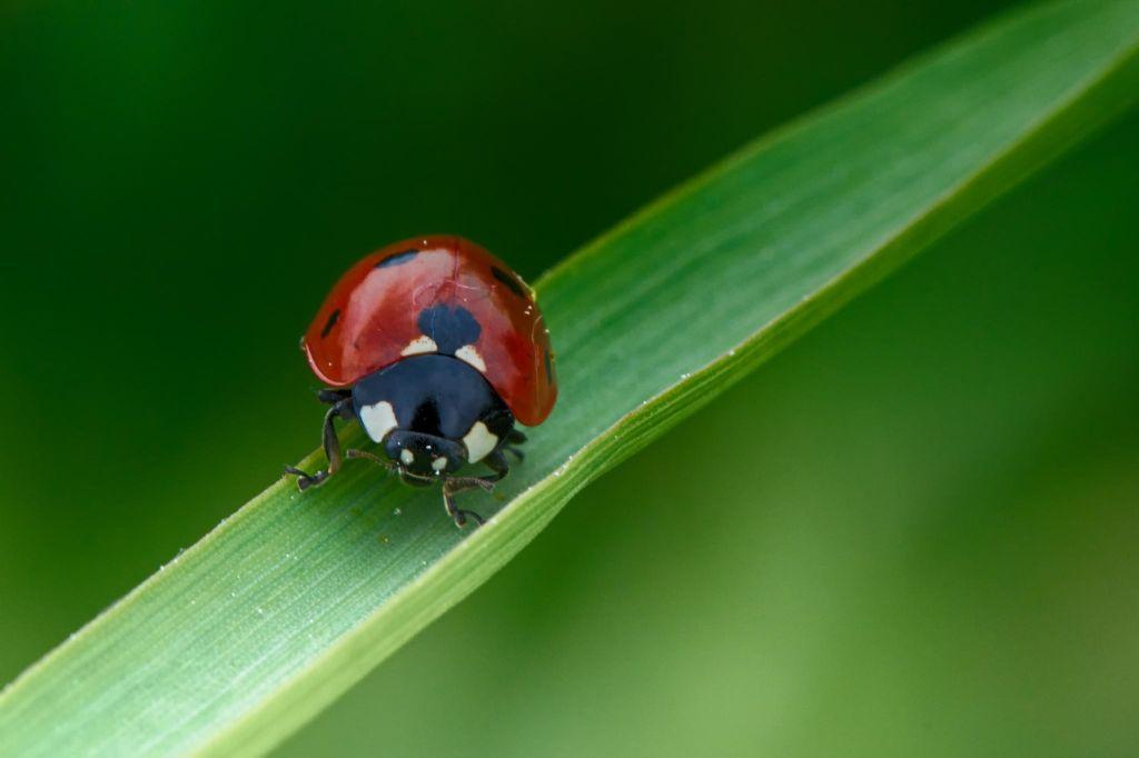 13. Ladybug
