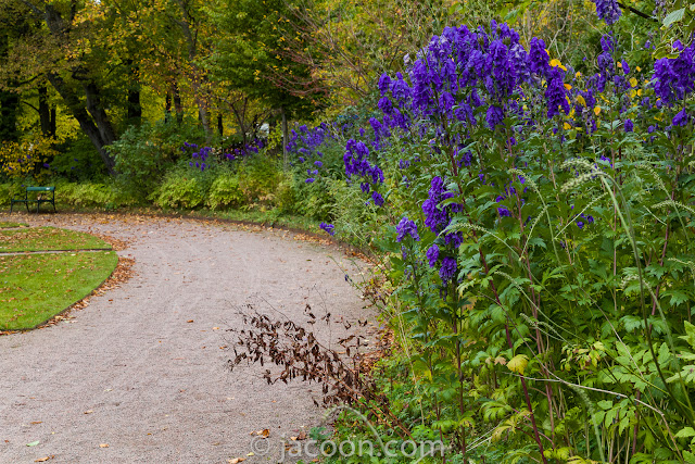 Oktober-stormhatten, Aconitum carmichaelii