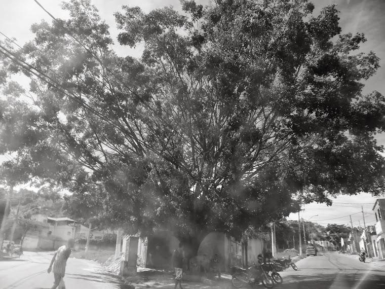 CA - arvore - santa luzia -MG / BRASIL
