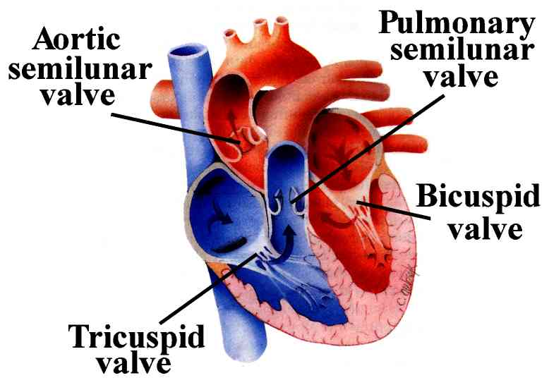 A fathers joy tricuspid valve prolapse living with a heart i know that i am so blessed not to have a worse heart condition than i do when i go to the pediatric cardiologist i see all these little children and ccuart Choice Image