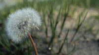 A dandelion fully bloomed with seeds sits among the grass genly moving in the wind