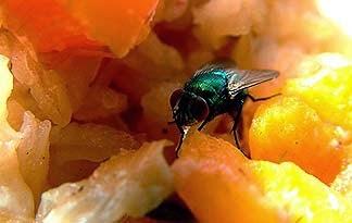 teknik halau lalat