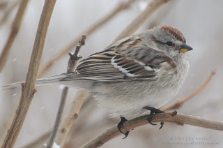 American Tree Sparrow.  Photo © Shelley Banks, all rights reserved