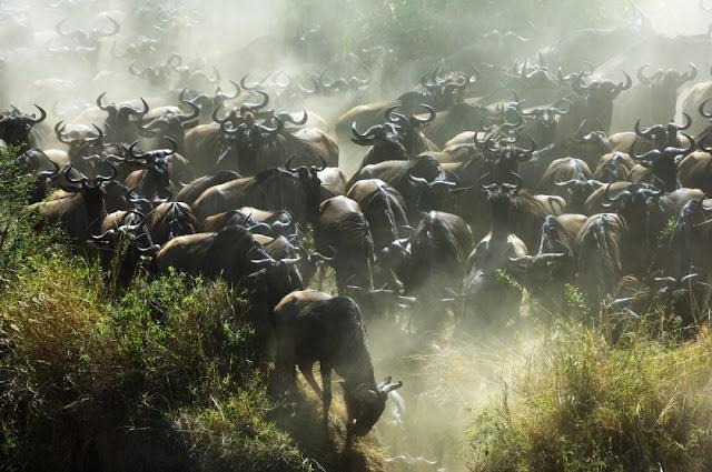 Großen Migration am Mara River, Kenia