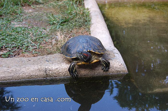 Un zoo en casa la tortuga de orejas rojas trachemys - Estanques para tortugas ...