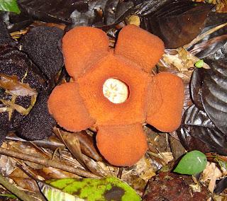 Amazing Rafflesia Aurantia