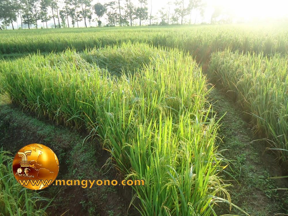 FOTO : Tanaman padi milik saya yang roboh kurang lebih sebanyak 3 hektare (Ha)  dikurangi 2,99 Ha ... Hehehe.