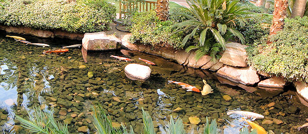 Left field wander flamingo hotel wildlife habitat for Koi fish environment