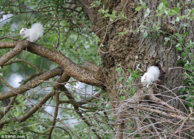 santai foto 2 ekor tupai albino  el ditemui   anak ketam