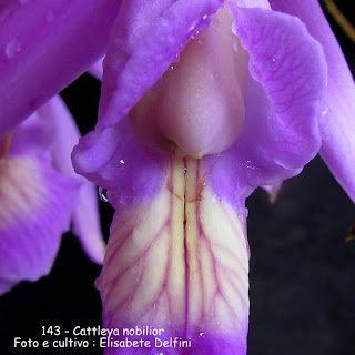 Cattleya nobilior do blogdabeteorquideas