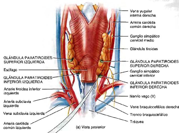 Función endocrina del corazón. Péptido natriuretico auricular ...