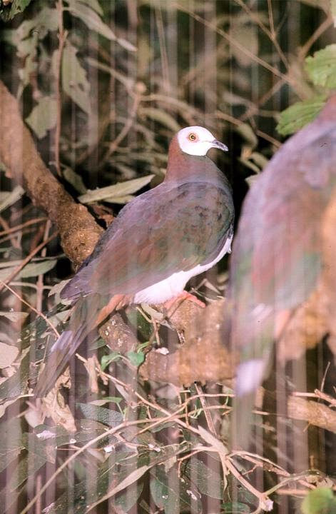White bellied imperial pigeon Ducula forsteni