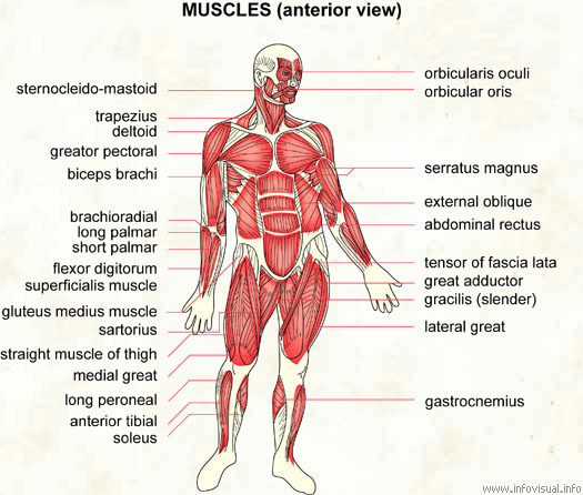 Anatomy Made Easy What Is Myology The Defination Of Myology