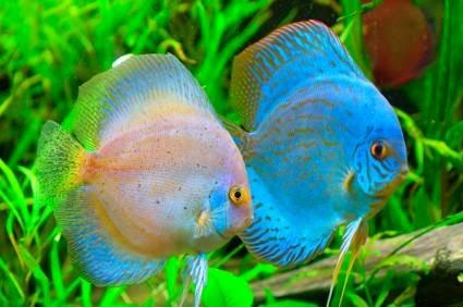 Discus Fish (Symphysodon spp), Raja Ikan Air Tawar dari Sungai Amazon