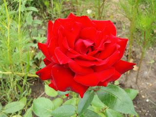 NAŠE ZAHRADY: Růže na zahrádce řez růží výsadba a množení ze zelených řízků