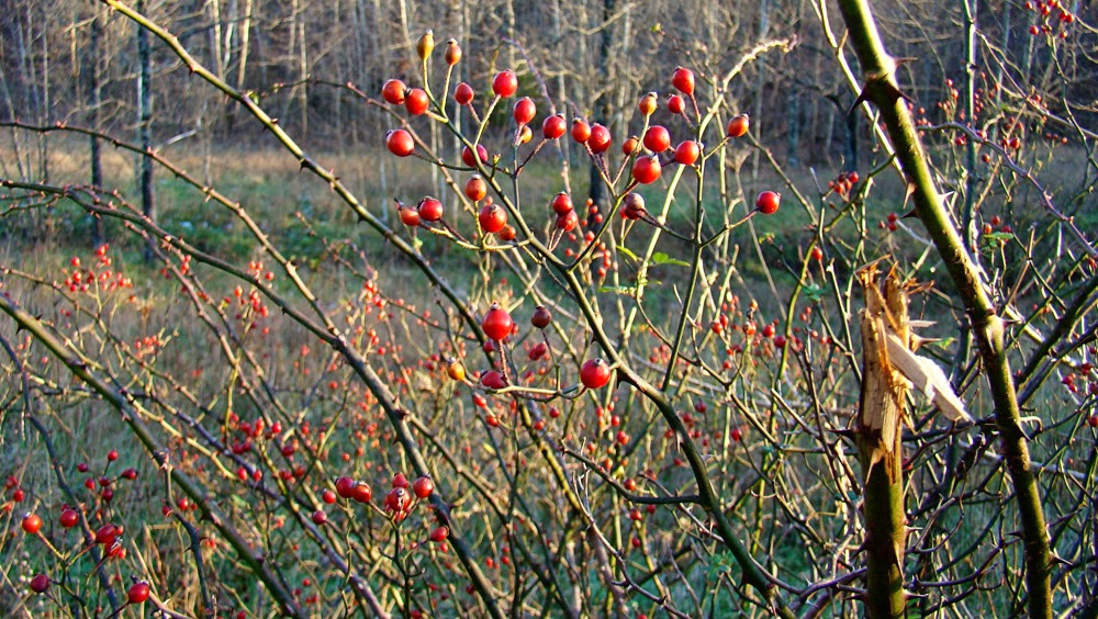 Rurification rosehips - What to do with rosehips jelly and vinegar ...