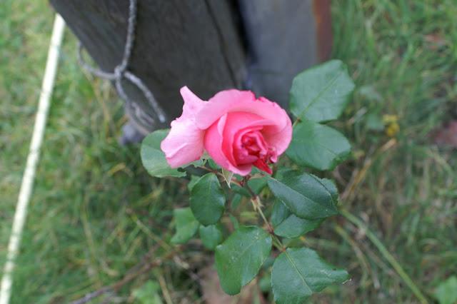 die letzte Rose blüht